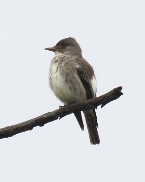 Olive-sided flycatcher (photo by Dominic Sherony via Wikimedia Commons)