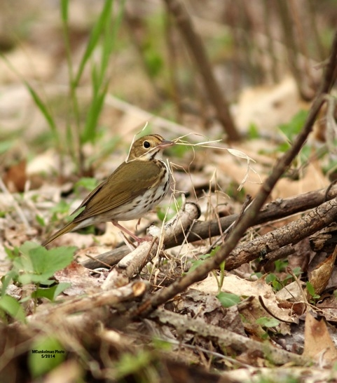 Ovenbird with nesting material, May 2014 (photo by Marcy Cunkelman)