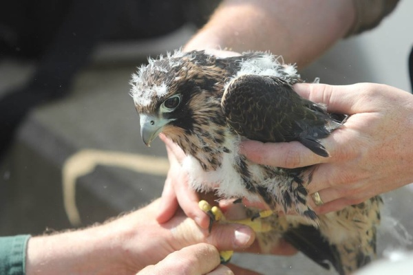 Peregrine chick, Tarentum Bridge, 22 May 2014 (photo by Sean Dicer)