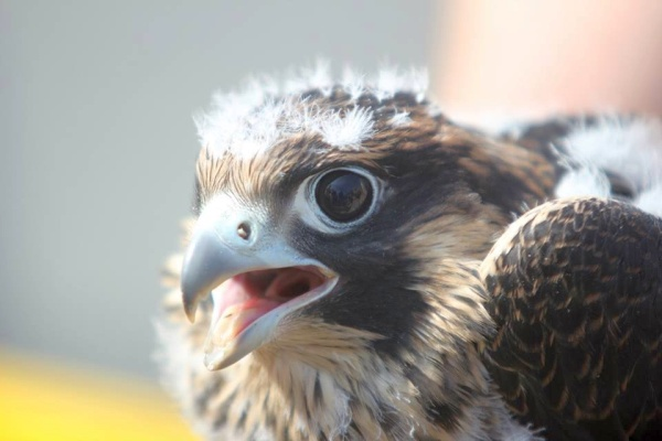 Peregrine chick banded at the Tarentum Bridge (photo by Sean Dicer)