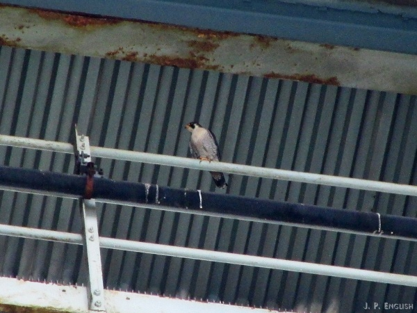 Male peregrine at Westinghouse Bridge (photo by John English)