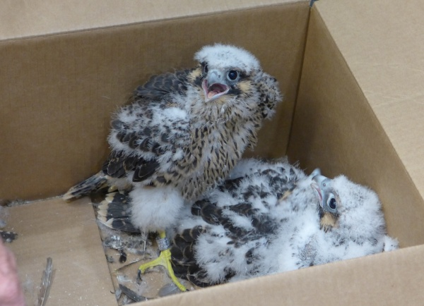 Three Gulf Tower chicks after banding (photo by Kate St. John)
