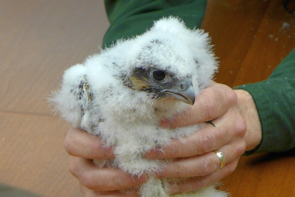 Peregrine chick from the Gulf Tower nest, Banding Day, 20 May 2014 (photo by Kate St. John)