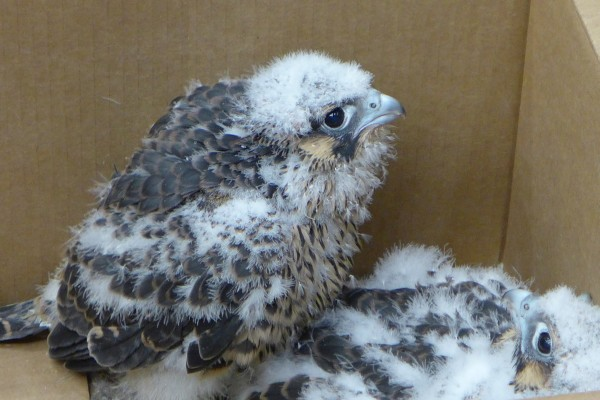 Gulf Tower peregrine chick on Banding Day, 20 May 2014 (photo by Kate St. John)