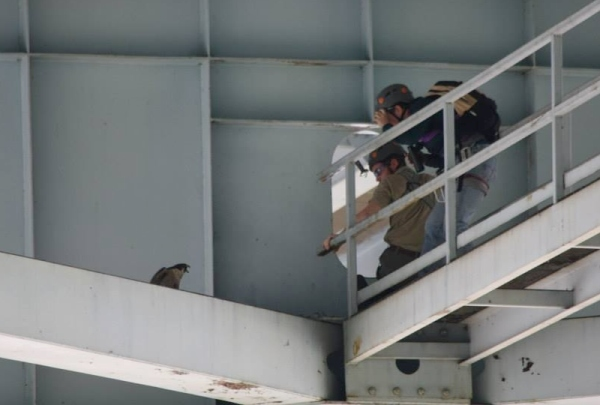 Male peregrine at Neville Island I-79 shouts as Dan Brauning takes his picture (photo by Anne Marie Bosnyak)