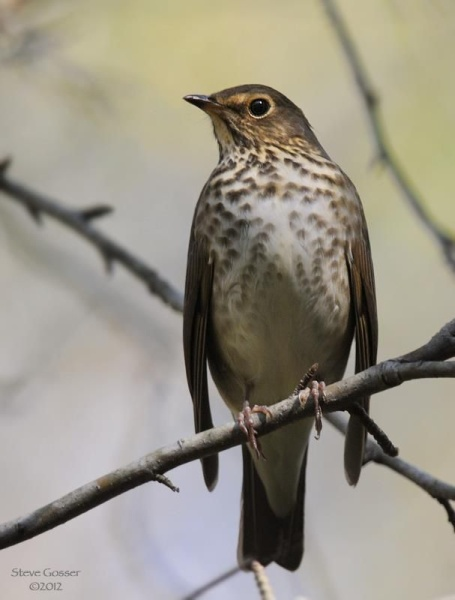 Swainson's thrush (photo by Steve Gosser)