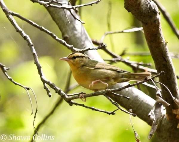 Worm-eating warbler near Sarah Furnace Rd, 18 May 2014 (photo by Shawn Collins)