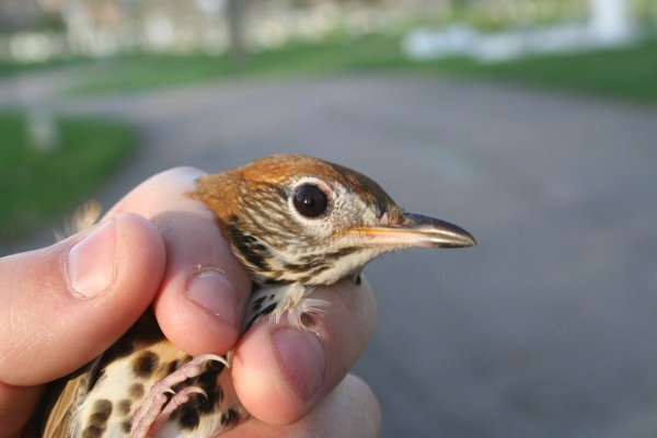 Wood thrush rescued Downtown, 28 April 2014 (photo by Matt Webb)
