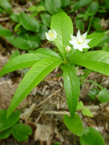 Starflower (photo by Dianne Machesney)