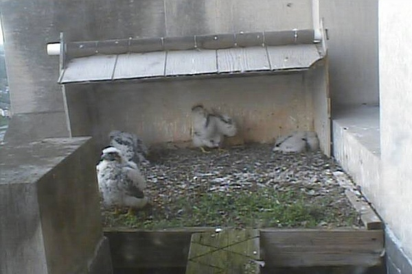 Gulf Tower peregrine chicks, 17 May 2014 (photo from the National Avairy falconcam at Gulf Tower)