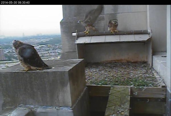 Third peregrine chick about to take off, 6:30am May 30 (photo from the National Aviary falconcam at Gulf Tower)
