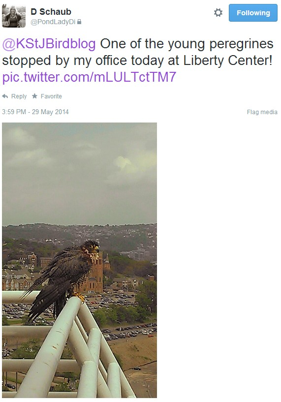 Peregrine fledgling at Liberty Center (photo and Tweet from @PondLadyDi)