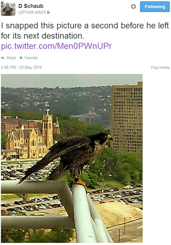 Gulf Tower fledgling at Liberty Center (photo by @PondLadyDi)