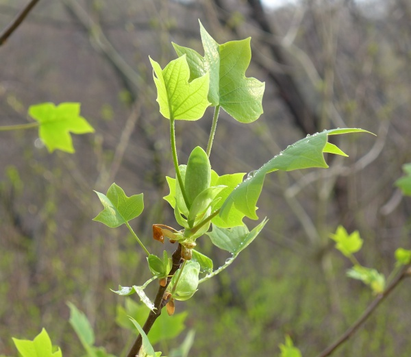 Tulip tree leaf-out, 1 May 2014 (photo by Kate St. John)