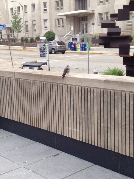 Juvenile American kestrel at Engineering Building (photo by Michelle Kienholz)