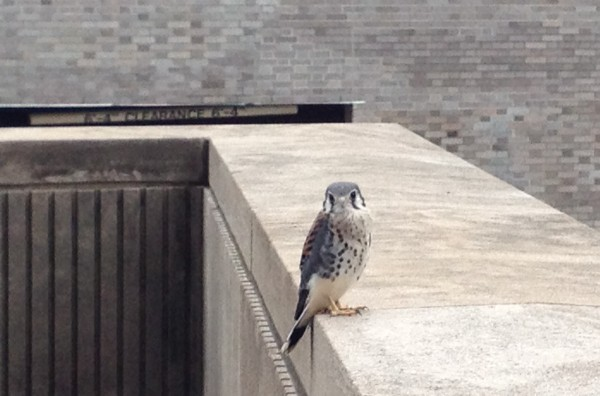 American kestrel fledgling at Engineering Hall, Univ of Pittsburgh (photo by Michelle Kienholz)