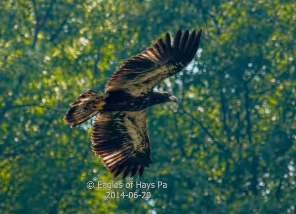 First fledgling from the Hays Bald Eagle nest (photo by Dana Nesiti)