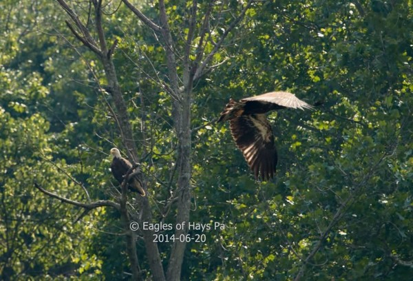 Eaglet #3 flies past his mom on Fledge Day (photo by Dana Nesiti)