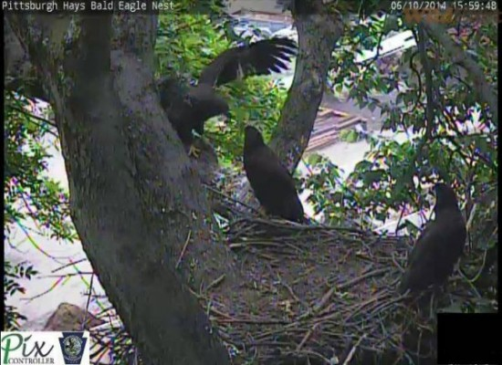 Juvenile bald eagles at the Hays nest, 11 June 2014 (photo from the PixController eaglcam atHays)