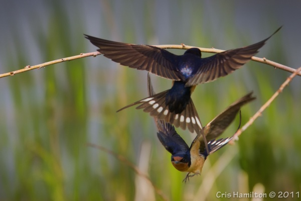 Barn swallows in flight (photo by Cris Hamilton)