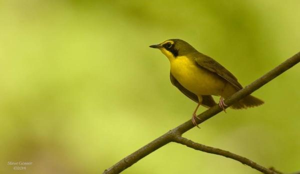 Kentucky warbler (photo by Steve Gosser)