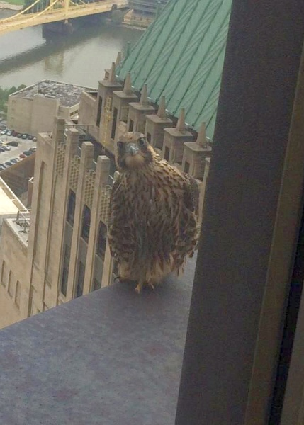 Peregrine falcon juvenile at U.S. Steel Tower (photo by Patti Mitsch)