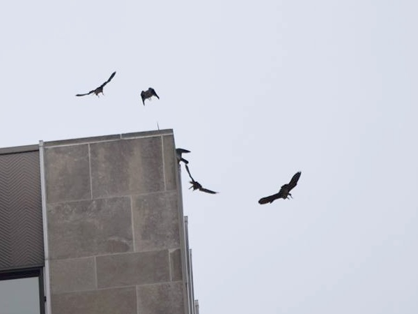 Five peregrines in Downtown Pittsburgh, 21 June 2014 (photo by Anne Marie Bosnyak)