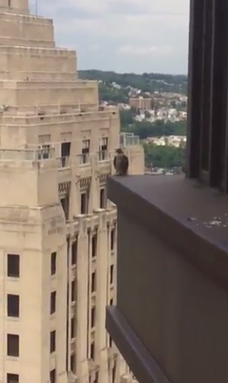 Peregrine leftovers on the ledge, U.S. Steel Tower (photo by Patti Mitsch)
