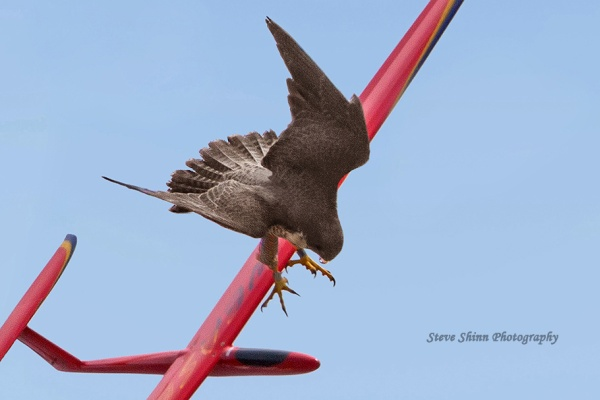 Adult female peregrine attacks remote-controlled model glider (photo by Steve Shinn)