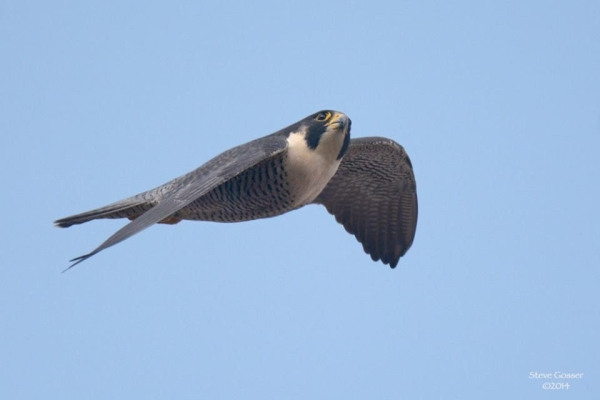 "Peregrine ""Hope"" at the Tarentum Bridge (photo by Steve Gosser)"