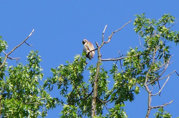 Red-tailed hawk at Prospect Circle, 31 May 2014 (photo by Kate St. John)