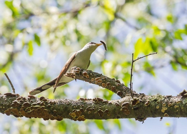 Yellow-billed Cuckoo eating a tentworm (photo by Robert Greene, Jr)
