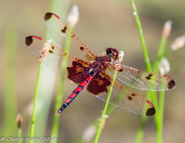 Calico pennant (photo by Charlie Hickey)