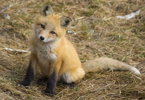 Red fox kit (photo by Dan Arndt)