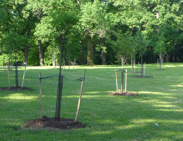New trees planted at Prospect Circle, 31 May 2014 (photo by Kate St. John)