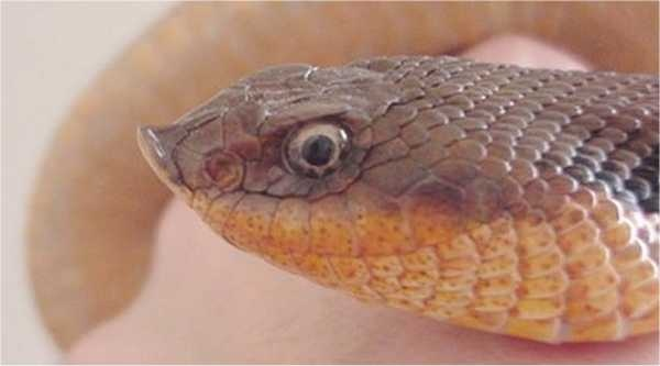 Ton an eastern hognose snake (photo from Wikimedia Commons)