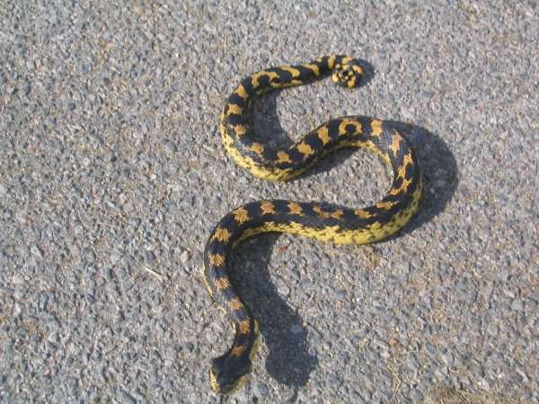 Eastern hognose snake (photo from Wikimedia Commons, altered)