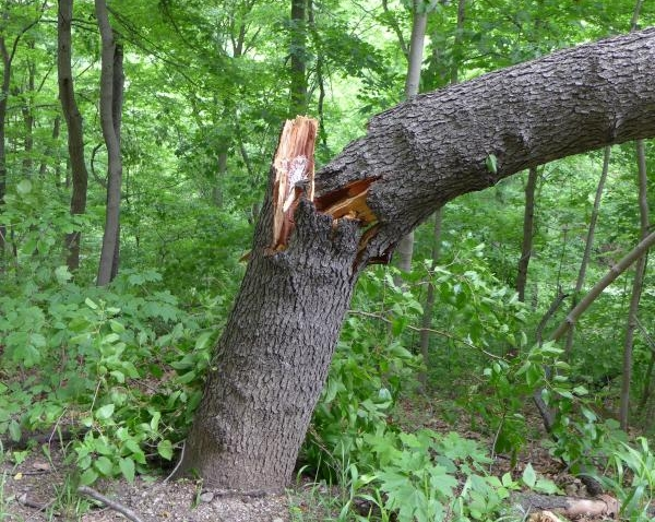 Black cherry tree toppled at Schenley Park, 30 May 2014 (photo by Kate St. John)
