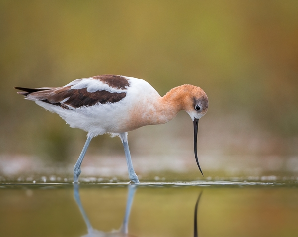 American avocet, July 2014 (photo by Jessica Botzan)