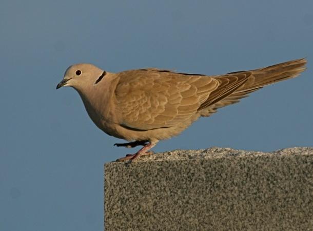 Eurasian collared-dove (photo by Chuck Tague)