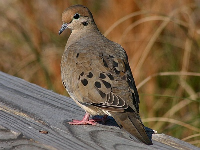 Mourning dove (photo by Chuck Tague)