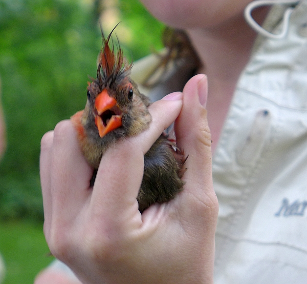 Hey! says this female northern cardinal on banding day (photo by Kate St. John)