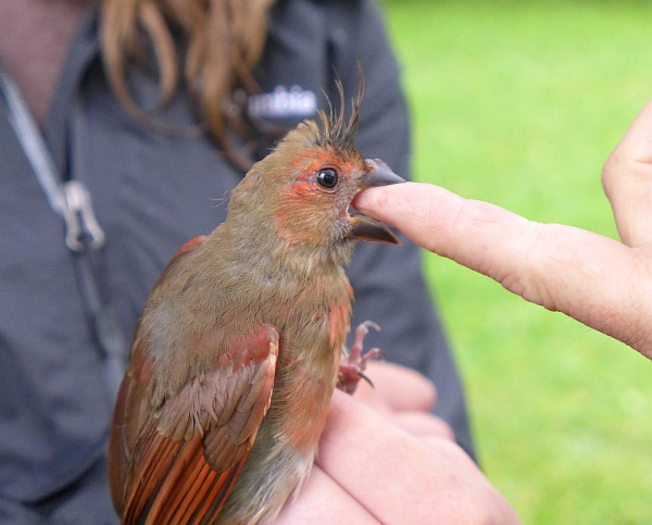 Immature male northern cardinal is distracted by biting someone's finger (photo by Kate St. John)