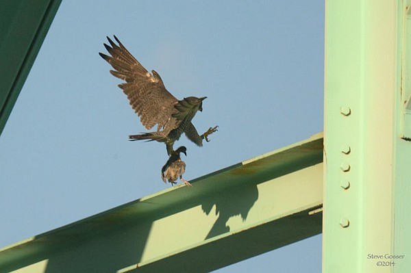 Peregrine with pigeon meal, Tarentum Bridge, 3 July 2014 (photo by Steve Gosser)
