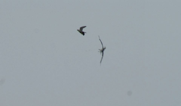 Male peregrine drives a gull away from the Westinghouse bridge during the excitement on Banding Day (photo by Donna Memon)