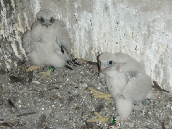 Two peregrine chicks at Westinghouse Bridge on banding day, 1 July 2014 (photo by Thomas Keller, PGC)