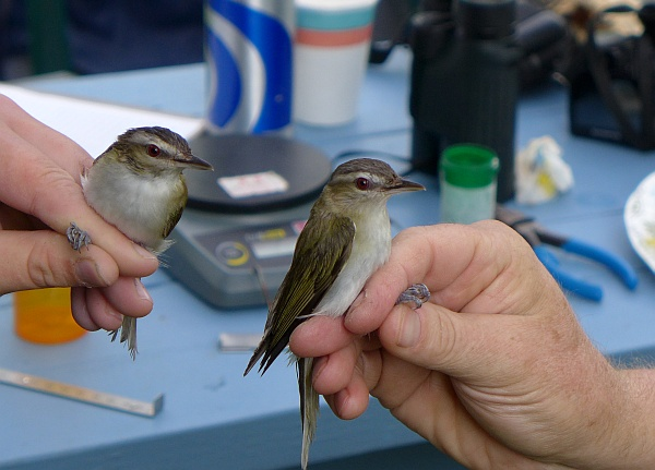 Two male red-eyed vireos (photo by Kate St. John)