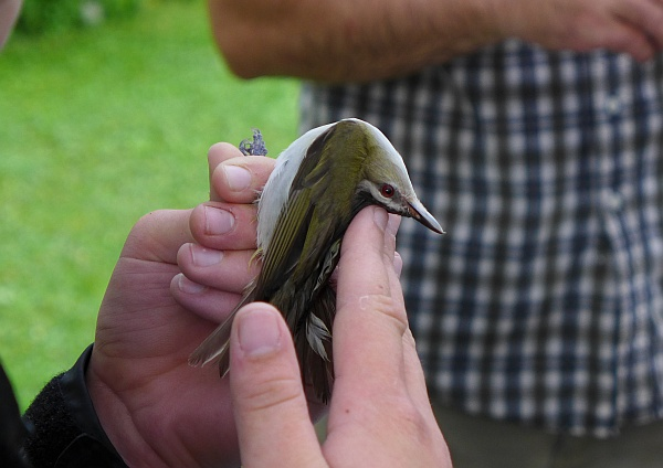 The red-eyed vireo has a flexible neck (photo by Kate St. John)