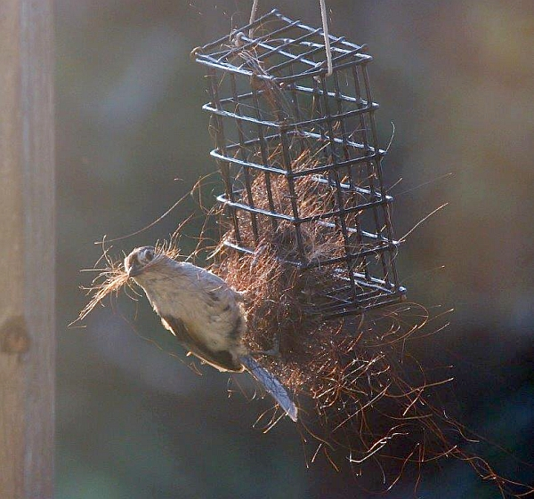 Tufted titmouse collecting horse hair for its nest (photo by Marianne Atkinson)