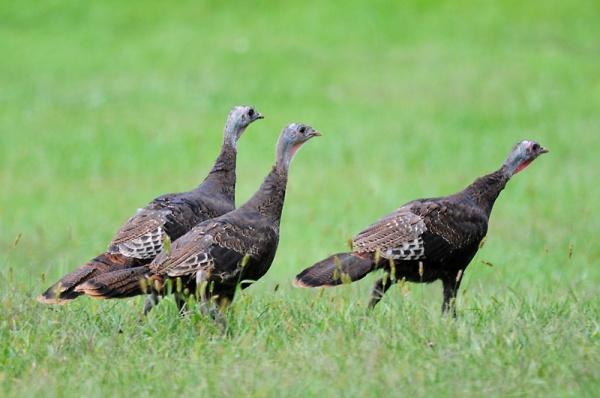 Wild turkeys (photo by Steve Gosser)